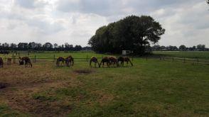Kamele auf der Weide