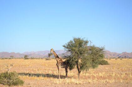 Giraffe am Baum