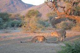 Gepardenfütterung